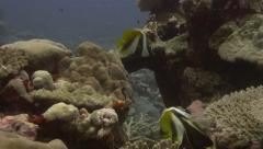 Bannerfish swimming over plate coral in the Solomon Islands Stock Footage