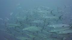 Chevron Barracuda tightly school Stock Footage