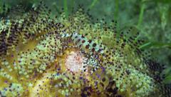 Coleman Shrimp in Fire Urchin - stock footage