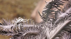 Stock Video Footage of Crinoid Crabs in Featherstar