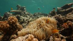 Clownfish in the Solomon Islands - stock footage