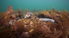 South Australian Cuttlefish Aggregation Wide Angle Stock Footage