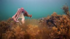 Colourful Giant Australian Cuttlefish mating dance Stock Footage