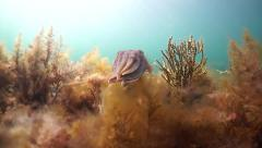 Many Cuttlefish Aggregate for breeding Stock Footage