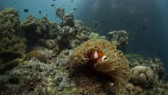 Clownfish wide angle pan in on tropical reef Stock Footage