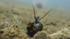 Mantis Shrimp looks at small fish prey Stock Footage
