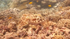 Amazing Camouflage underwater - Cuttlefish and coral - stock footage