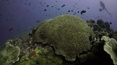 Huge brain coral with diver in background on coral reef Stock Footage