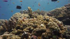 Many colourful Anthias and damselfish on a Coral reef - stock footage