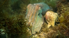 Cuttlefish mating behavior - Male guards female Stock Footage