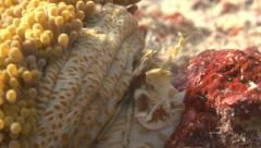 Porcelain Crab macro catching food with chelae claws - stock footage
