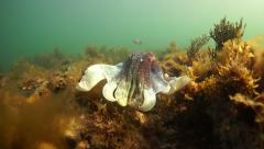 South Australian Unique Cuttlefish Aggregation at Point Lowly Whyalla Stock Footage