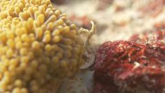 Porcelain Crab catching food while sitting in an anemone in Palau - stock footage