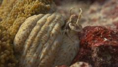 Porcelain Crab in Palau Micronesian Islands underwater Slow Motion - stock footage