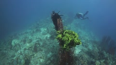 Gorgonian Fan and diver in wide angle - stock footage