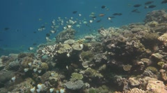 Beautiful Coral Reef in Palau with Pyramid Butterflyfish in slow motion Stock Footage