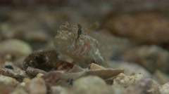 South Australian Goby - Tiny fish in super macro Stock Footage