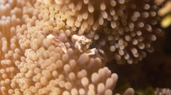Porcelain Crab feeding in anemone Stock Footage