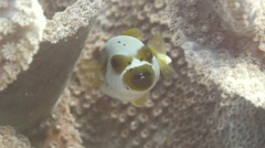 Spotted Pufferfish in in hard coral structure with large polyps Stock Footage