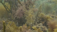 Cryptic animal - Leafy Seadragon front face angle - stock footage