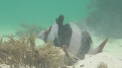 Magpie Perch fish filter feeding on sandy bottom in South Australia Stock Footage