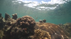 Razorfish dance around coral reef in wide angle Stock Footage