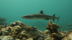 White tip Reef Shark glides through frame - stock footage
