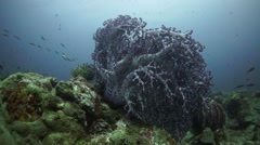 Big purple soft Coral in wide angle - stock footage