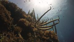 Coral Reef branching corals and fish in Papua New Guinea - stock footage