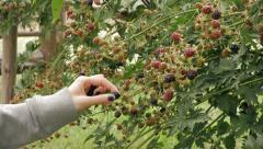Picking blackberries - medium shot Stock Footage