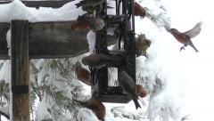 Red Crossbills in Flight in Slow Motion at Bird Feeder Stock Footage