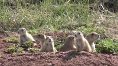 Prairie Dog Young Family Playing on Mound Stock Footage