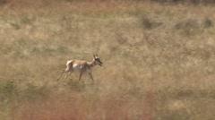Tired Pronghorn Antelope Running Across Prairie Grassland Stock Footage