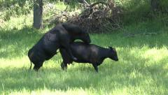 Sexual Reproduction and Mating by Bull and Cow Cattle Stock Footage