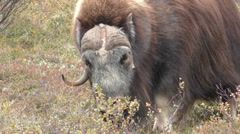 Bull Male Musk Ox Horns in Alaska Stock Footage