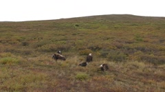 Musk-ox Herd in the Arctic Tundra in Alaska in Autumn Stock Footage