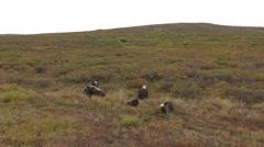 Musk-ox Herd in the Arctic Tundra in Alaska in Autumn Stock Footage