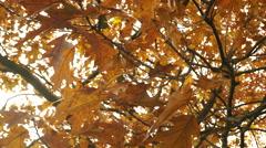 Autumn fall oak tree leaves steadicam 4K. Stock Footage