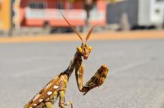 Insect Mantis Religiosa - stock photo
