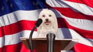 Stock Video Footage of Dog Satire Concept Stands At Podium Before Microphone US Flag Background