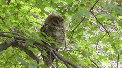 Spotted Owl (Strix occidentalis lucida) Stock Footage
