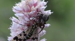 Spider prey Panorpa communis Stock Footage