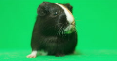 Funny guinea pig talking on the green screen - stock footage