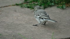 Wagtail looks for insects on the pavement slab after the rain Stock Footage