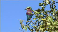 Lilac-breasted roller (Coracias caudatus) on a tree in Botswana. Stock Footage