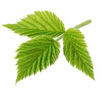 Detailed raspberry leaves close-up isolated on a white background - stock photo