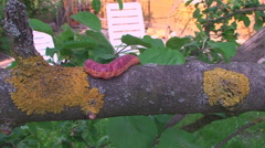 In the garden the tree crawling caterpillar - stock footage