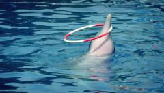 Dolphin Skillfully Twirls Hoop On Head Stock Footage
