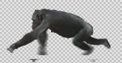 Ape Chimpanzee Running Stock Footage