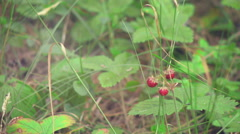 Wild Strawberry into the wild1 Stock Footage